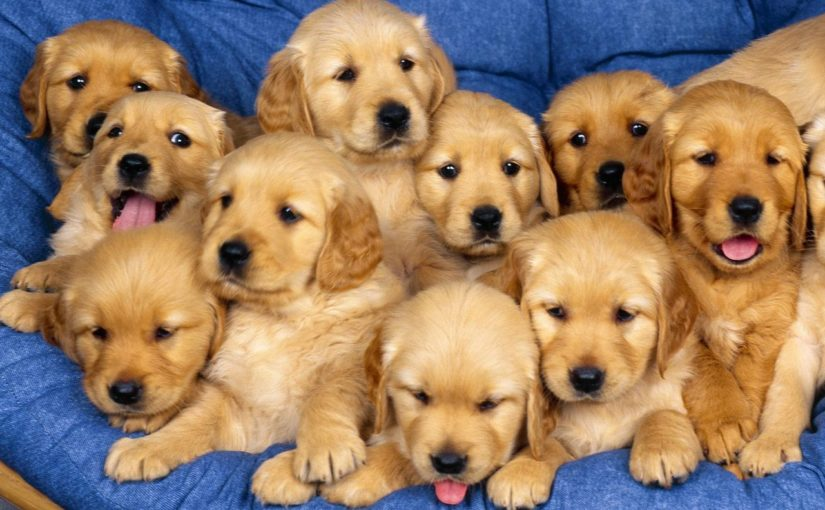 lots of puppies